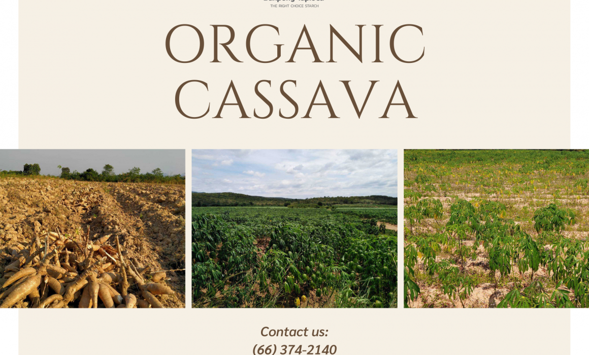 organic cassava